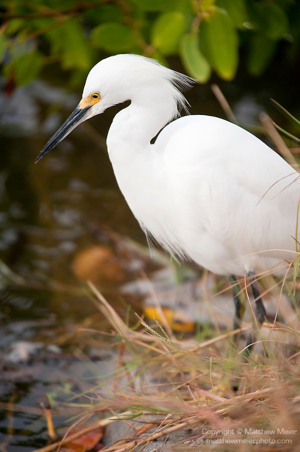 Ding Darling National Wildlife Refuge, Sanibel Island, Florida; a Snowy Egret (Egretta thula) bird standing at the edge of the mangroves, fishing for food in the shallow water below © Matthew Meier Photography, matthewmeierphoto.com All Rights Reserved