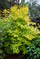 Philadelphus coronarius 'Aureus' foliage shrub mockorange with gold leaves