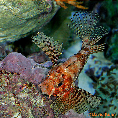 "0107-08mm  Fuzzy Dwarf Lionfish  ""Venomous Spines on Fish"" - Dendrochirus brachypterus  © David Kuhn/Dwight Kuhn Photography"