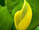 Vashon Island, Washington<br /> Westenrn skunk cabbabe (Lysichiton americanus) or swamp lantern - detail of a flower spike and yellow bract