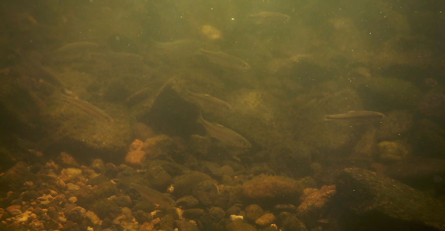 "Group of Bleak (Alburnus alburnus) called ""fritures"" by  French fishermen, the most-fished-for species in the river Allier. Pont-du-Chateau, Auvergne, France."