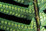 Western Sword Fern frond underside with sori (Polystichum munitum), Sierra Nevada Range, California, USA