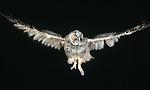 Juvenile long-eared owl, Washington