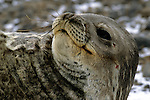Portrait of a weddell seal on the Antarctic Sound.