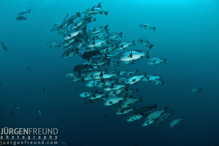 Schooling snappers in the blue.