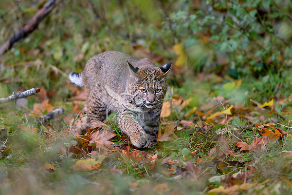 Wild Bobcat (Lynx rufus) walking through fallen bigleaf maple leaves.  Olympic National Park, WA.  November.  (Completely wild, non-captive cat.)
