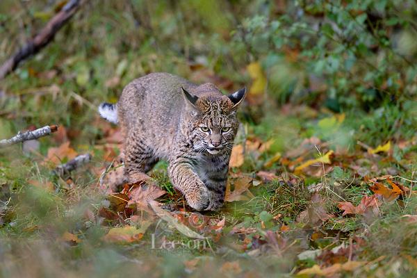 Wild Bobcat (Lynx rufus) walking through fallen bigleaf maple leaves.  Olympic National Park, WA.  November.  (Completely wild, non-captive cat.)