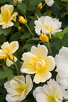 Yellow rose flower and bud - Rosa 'Sunny Knock Out'