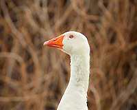 animals, birds, goose, geese, white goose, white, feathers, beak, orange beak, blue eye, blue, animal portrait, goose portrait, Easter, spring, goose closeup,