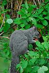 Western gray squirrel eating fruit