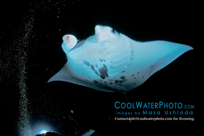 reef manta ray or coastal manta feeding on plankton at night, Manta alfredi, Kona Coast, Big Island, Hawaii, USA, Pacific Ocean