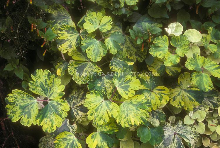 Aquilegia 'Woodside' variegated columbine foliage