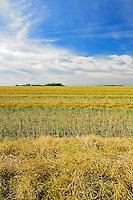 Canola swaths<br /> Lang<br /> Saskatchewan<br /> Canada