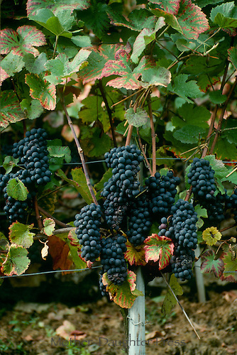 Fresh ripe grapes growing in Switzerland