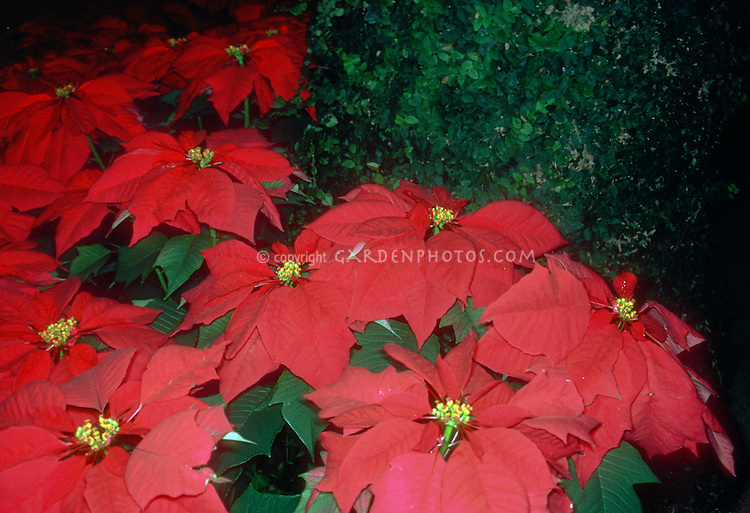 Poinsettia (Euphorbia pulcherrima), classic red flowering holiday Christmas plant