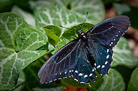 The Black Swallowtail, Papilio polyxenes, also called the American or parsnip swallowtail, is a butterfly found throughout much of North America. It is the state butterfly of Oklahoma. T<br /> <br /> The Black Swallowtail has a wingspan of 8 to 11 cm (3.1 to 4.3 in). The upper surface of the wings is mostly black. On the inner edge of hindwing is a black spot centered in larger orange spot. A male of this species has a yellow band near edge of wings; a female has row of yellow spots. The hindwing of the female has an iridescent blue band.