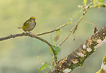 Female orange-bellied euphonia, Euphonia xanthogaster, Tandayapa Valley, Ecuador