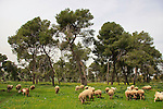 Israel, Jezreel Valley, Pine trees by Tel Shimron