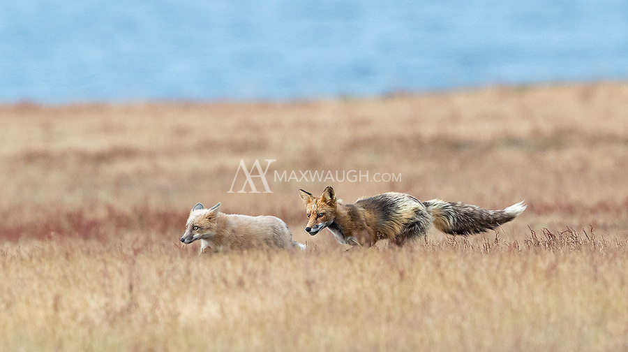This adult fox had no interest in hanging out with youngsters.
