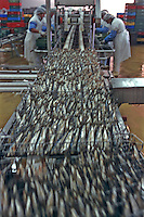 Europe/France/Bretagne/29/Finistère/Plovezet: Conserverie de Sardines Capitaine Cook / Sardines Label Rouge-Etetage et Eviscérage