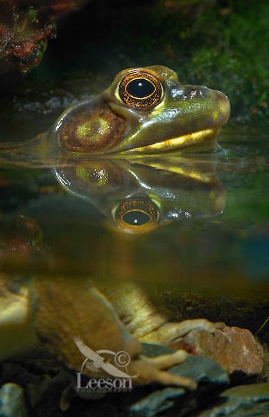 Green Frog..Nova Scotia. Canada..Rana clamitans melanota.