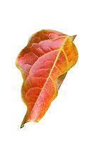 Cut out silhouette, Autumn foliage Fuyu Persimmon tree leaf (Diospyros) in California garden, November 19