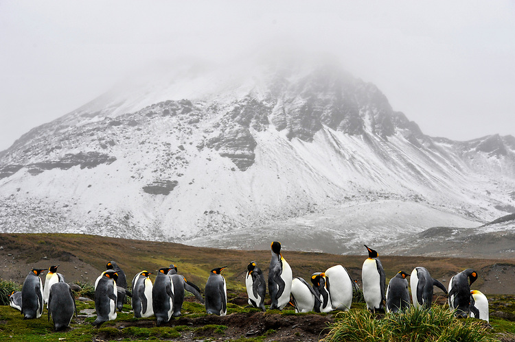 A small colony of King Penguin (Aptenodytes patagonicus) , Jason harbour, South Georgia, mountain in the background