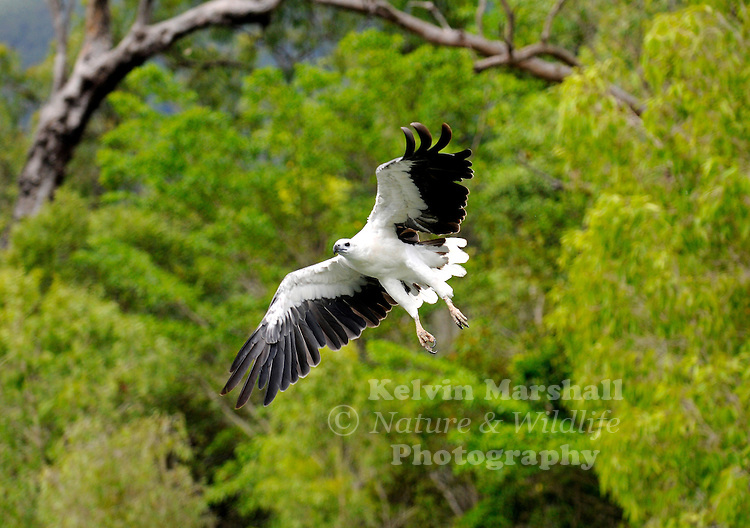 The White-bellied Sea-eagle (Haliaeetus leucogaster), also known as the White-bellied Fish-eagle or White-breasted Sea Eagle, is a large diurnal bird of prey in the family Accipitridae. It is closely related to other eagles, kites, hawks, harriers and Old World vultures.