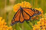 Monarch butterfly on orange flowers.