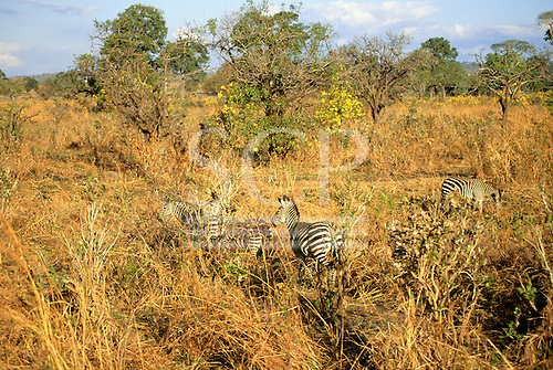 Mikumi Park, Tanzania. Wildlife safari reserve; zebras in savannah, partly hidden in the undergrowth with flowering trees.