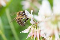 Honigbiene, Honig-Biene, Europäische Honigbiene, Westliche Honigbiene, Biene, Bienen, Apis mellifera, Apis mellifica, honey bee, hive bee, western honey bee, European honey bee, bee, bees, L'abeille européenne, l'avette, la mouche à miel, Blütenbesuch auf Klee, Weißklee, Trifolium repens