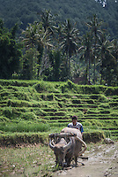 Ploughing rice paddy fields with Water Buffalo near Bukittinggi, West Sumatra, Indonesia