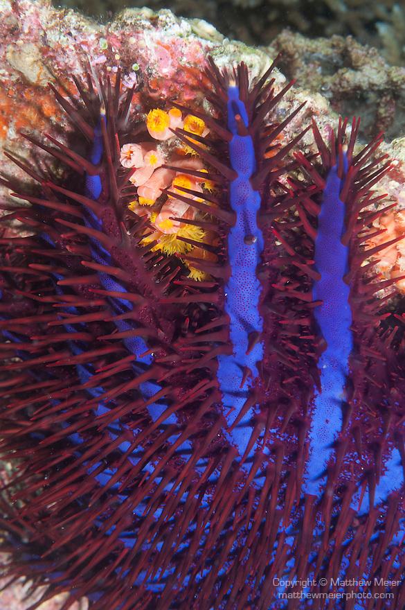 Va Giri, Viligili Island, Huvadhoo Atoll, Maldives; a large, bright red and blue Crown-of-thorns Sea Star feeding on the coral reef