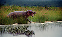 A hippo makes a run for the Blue Nile in Uganda.  Photo by, Karie Henderson © 2000