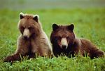 Brown bears, Admiralty Island, Alaska