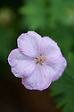 Geranium sanguineum 'Vision Light Pink', a hardy perennial variety, early July.