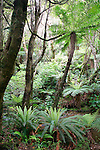 Tree fern and crown ferns, near Parakaunui Falls, Catlins, New Zealand
