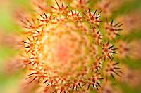Extrémité d'un cactus Hildewintera hybride // Tip of o shoot of cactus, Hildewintera hybrid.