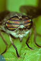 1F02-008z  Horse Fly - adult - Hybomitra nitidifrons