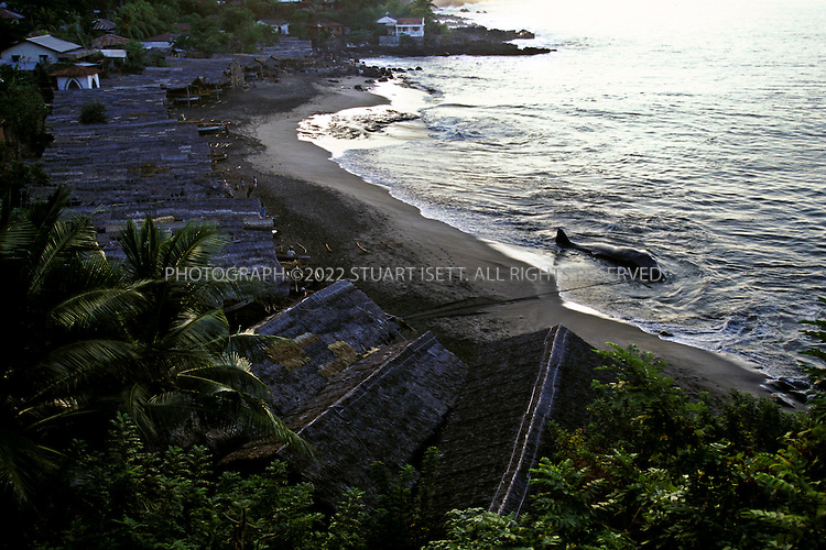 Lamalera, Indonesia..A sperm whale waits to be butchered at dawn on the beach at Lamalera...Photograph by Stuart Isett.©2003 Stuart Isett