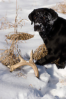 Black Labrador retriever (AKC) finds a white-tailed deer (Odocoileus virginianus) antler shed.  Winter, WI.