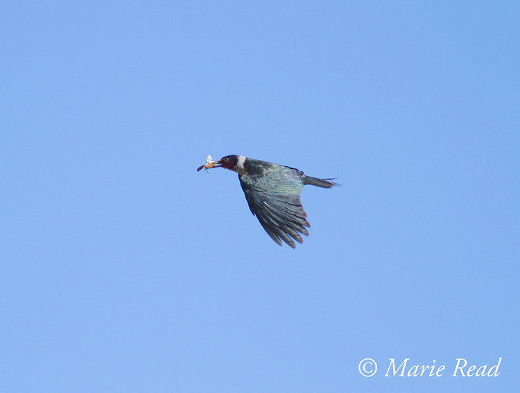 Lewis's Woodpecker (Melanerpes lewis), carrying food, in flight, Mono Lake Basin, California.