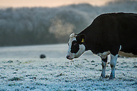 Thursday  01 December 2016<br /> Pictured:A cow stands in a frosty field near Laugharne, West Wales <br /> Re: The cold snap continues across the UK with many parts of the country experiencing sub zero temperatures.