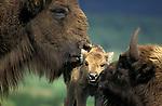 European bison, Bicon bonasus & calf / buffalo, parents young caring nurturing family....
