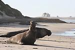 Bull elephant seals near North Point at Ano Nuevo State Park