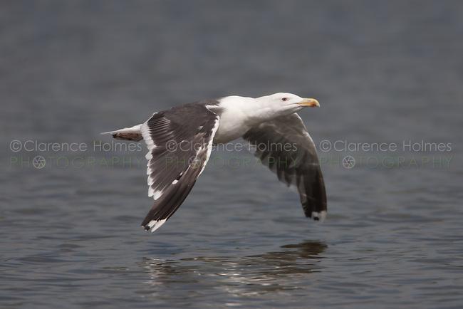 Great Black-backed Gull (Larus marinus), East Pond, Jamaica Bay Wildlife Refuge