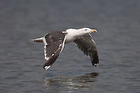 Great Black-backed Gull (Larus marinus), East Pond, Jamaica Bay Wildlife Refuge