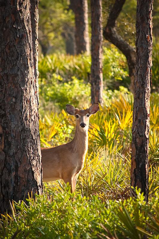 A white-tailed deer peeks in curiosity in a rural pine scrub in Sopchoppy, Florida.
