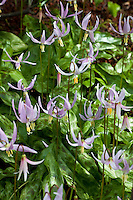 Erythronium revolutum -  Pink Fawn Lily flowering in East Bay Regional Parks Botanic Garden, California native plant