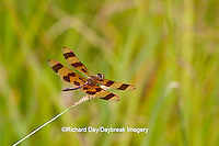 06579-005.11 Halloween Pennant (Celithemis eponina) male perched on grass near wetland, Marion Co., IL